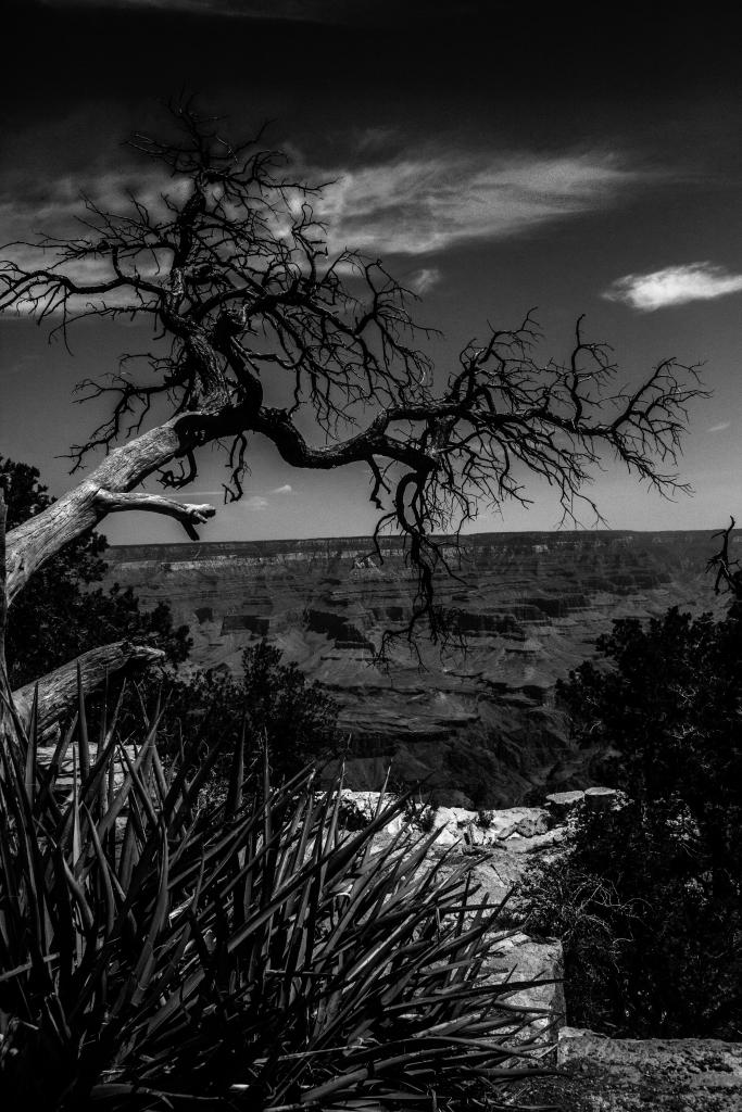 Black and white. Grand Canyon. Tree. Nevada. Meg O'Neill